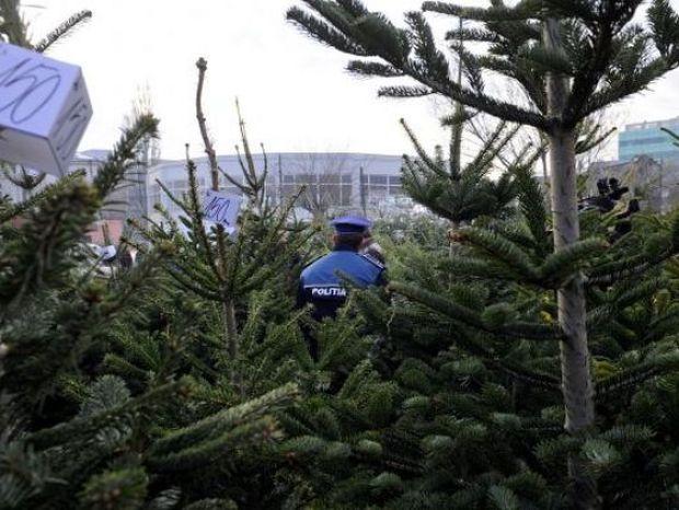 Mii de brazi de Crăciun, confiscați de politie