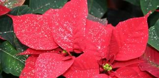 Care este floarea Crăciunului?