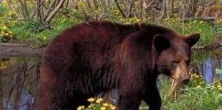 Un urs care devasta tomberoanele în zona Peştera - Padina a fost capturat