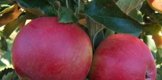 Mărul este un secret al longevităţii