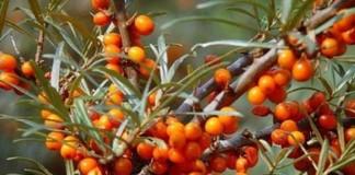 Beneficiile uleiului de cătină