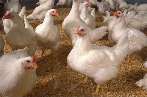 Epidemie de gripă aviară în Mexic