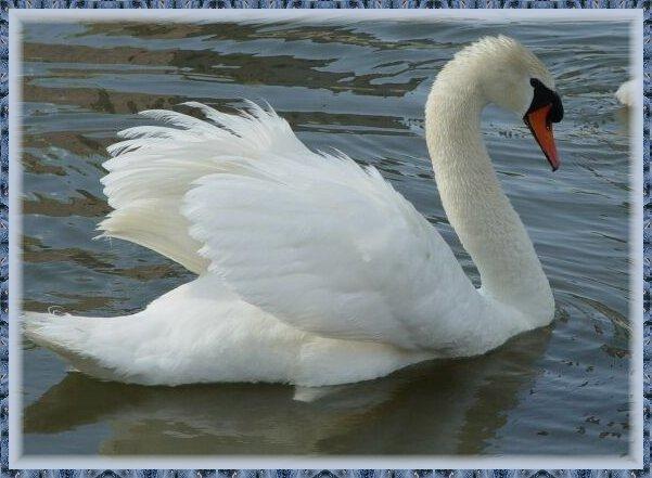 Noi suspiciuni de gripă aviară, după descoperirea a 18 lebede moarte pe râul Bistrița