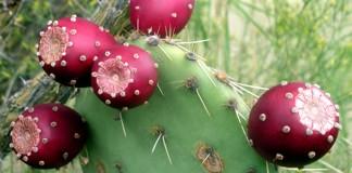 Fructul de cactus
