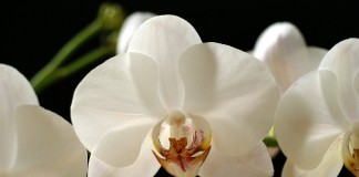 Orhideea distinsă