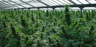 Plantaţii de canabis descoperite în foste hale CAP