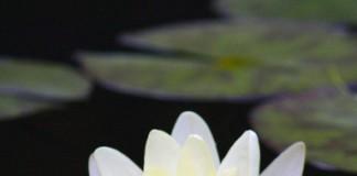 Floarea de lotus