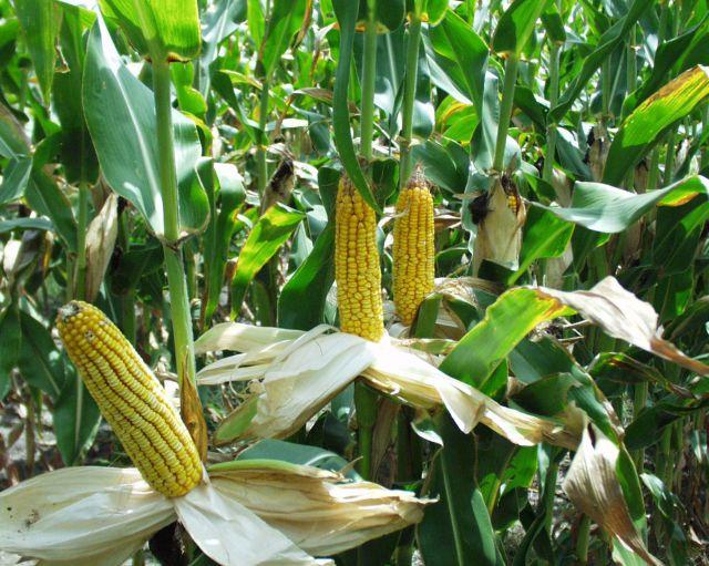 ANVSA a reținut 30.000 de tone de porum suspectate de contaminare cu aflatoxină