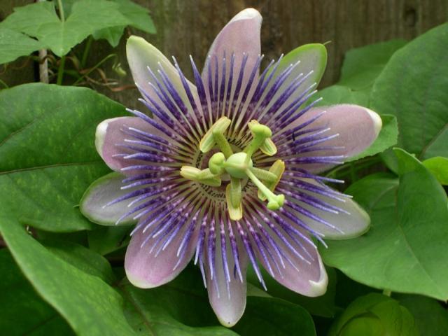 Floarea pasiunii calmează