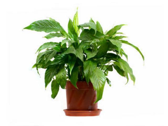 Plantele de apartament