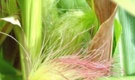 Mătasea porumbului