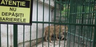 O fată de 16 ani a fost mușcată de picior de un leu de la ZOO