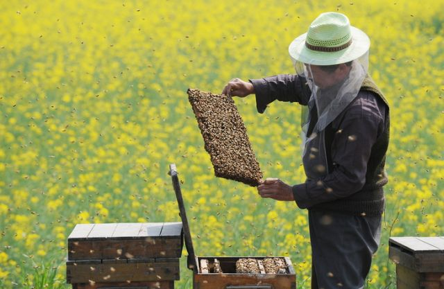 Comisia Europeană a decis interzicerea, pentru maximum 2 ani, a pesticidelor care ucid albinele