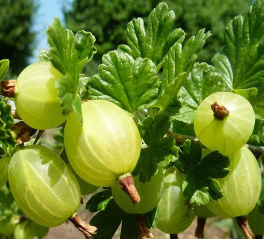 Agrişul, fructul frumuseţii