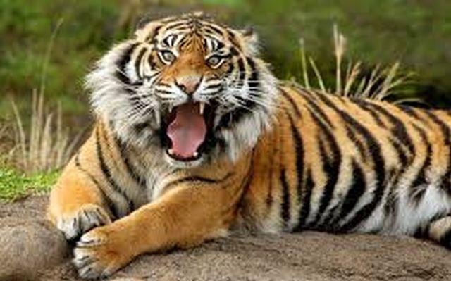 Îngrijitor de la Grădina Zoologică Braşov, atacat de tigru