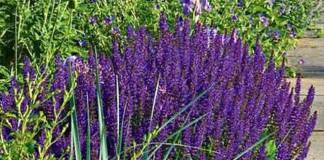 Salvia ne salvează viața
