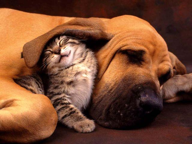 Câinele, prietenul pisicii. Un cîine a donat sânge și a salvat o pisică de la moarte