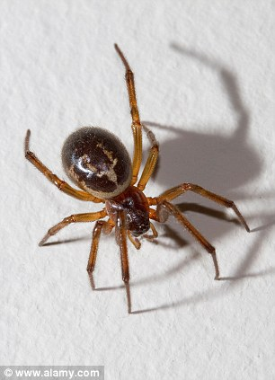false widow spiders
