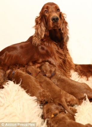Irish Red Setter puppies1
