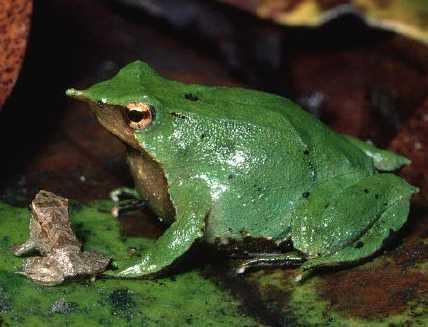 darwin frog