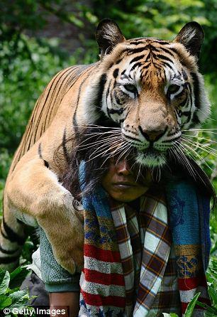 tigru om 3