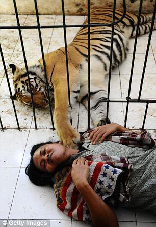tigru om 7