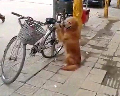 caine bicicleta