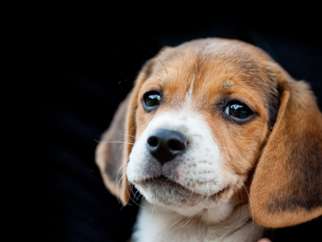 Animals___Dogs_Beautiful_beagle_puppy_on_a_black_background_049938_29