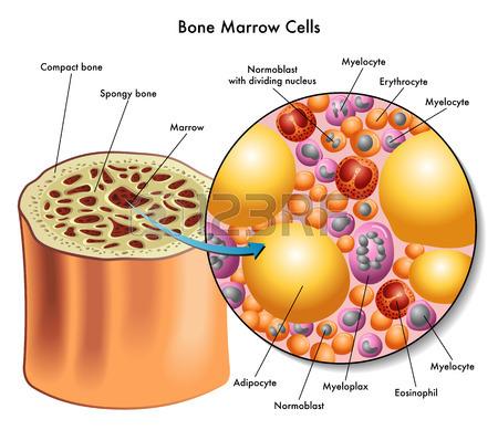 27490936-bone-marrow-cells