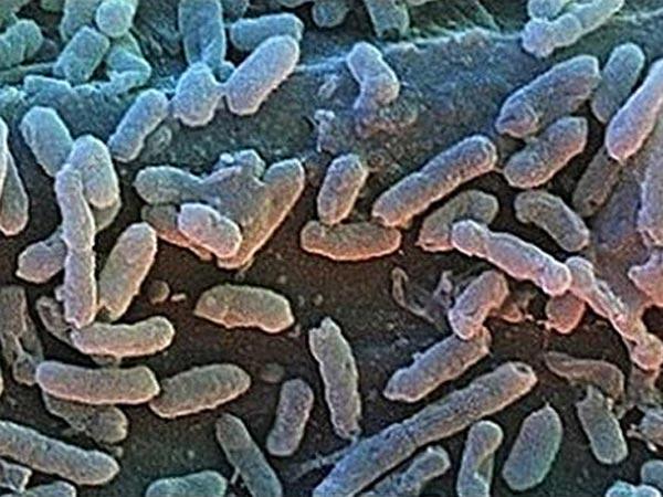 bacillus_f