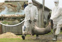 pesta porcina africana, tulcea, idsa bucuresti