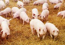 ansvsa, pesta porcina africana, tulcea, carantina